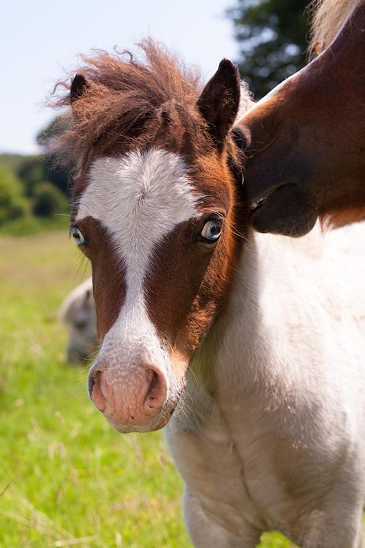 poulain cheval miniature americain