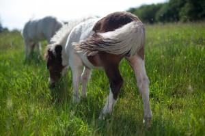 cheval miniature americain dom04