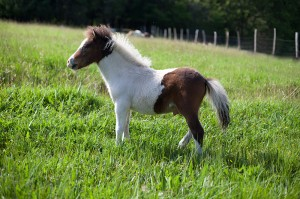 cheval miniature domingo