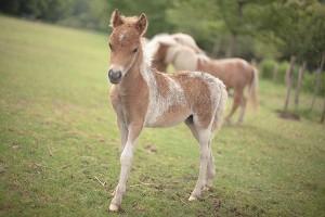 pouliche cheval miniature
